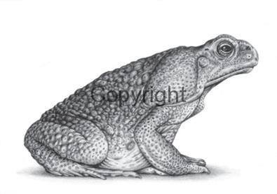 marine-toad
