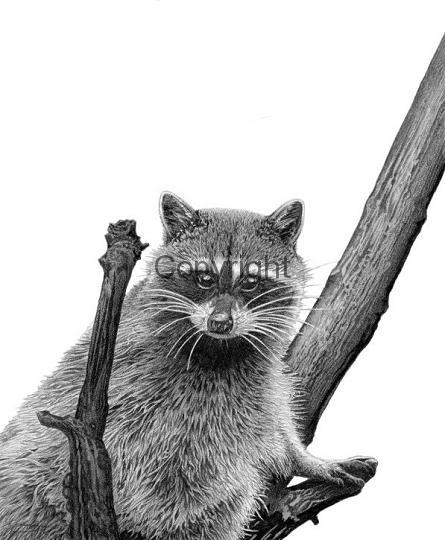 racoon-lge